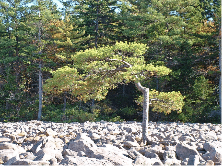 Lone pine tree near edge of field