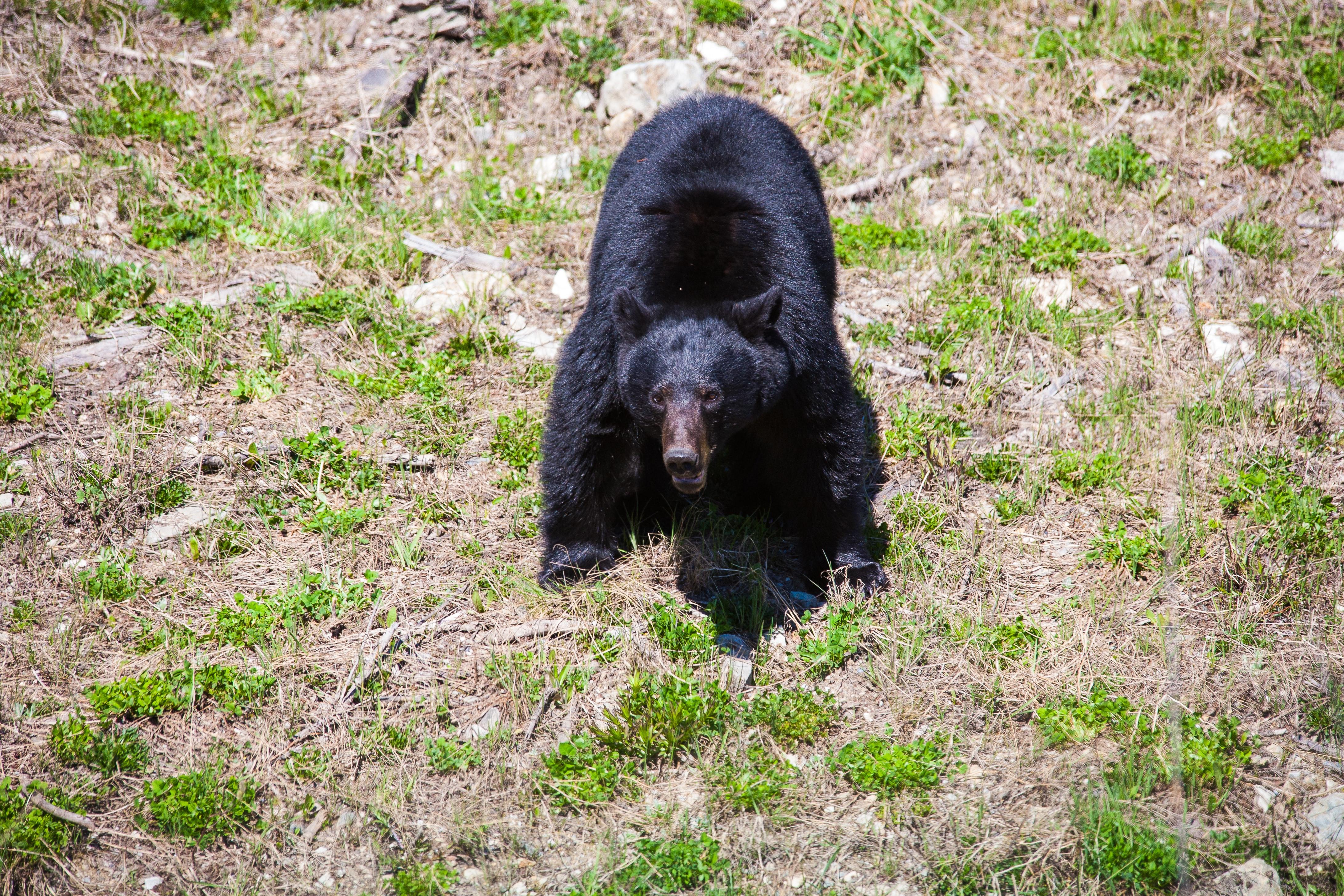 Jasper National Park Canada Black Bear